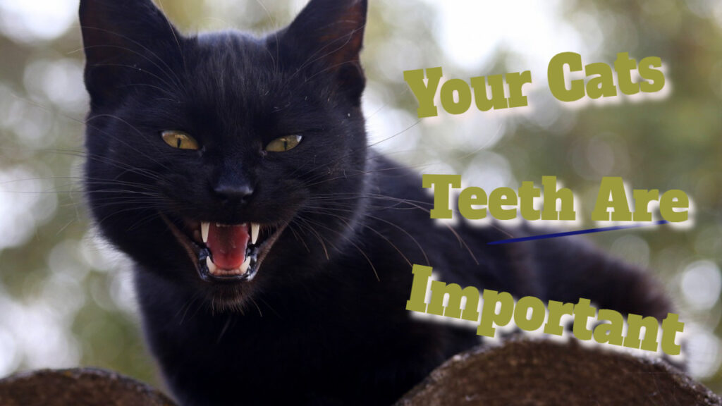 cats dental picture