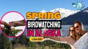 Spring Birdwatching in Alaska