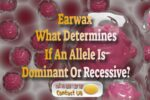 Can You Have Both Wet And Dry Earwax? – Dominant Or Recessive