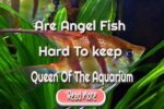 Are Angel Fish Hard To keep – The Queen Of The Aquarium